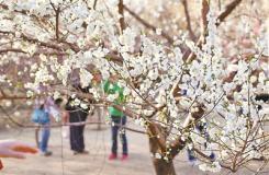 阳春三月京郊赏花地图全攻略