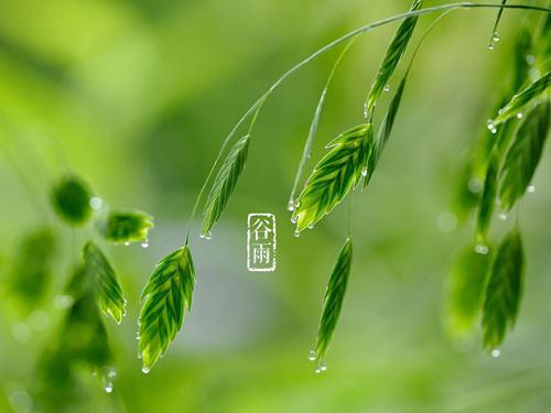 节气谷雨:杨花柳絮随风舞,雨生百谷夏将至