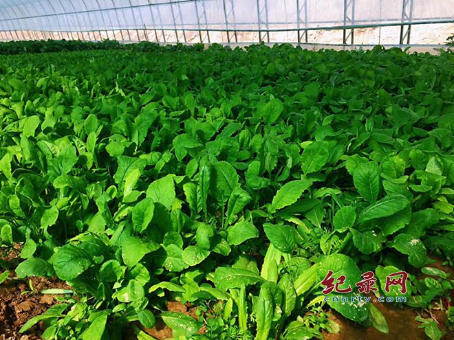 农产品涨价题材发酵 切勿盲目跟风种植