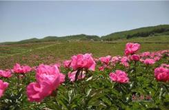 武威2000亩红韵的芍药洒遍青山